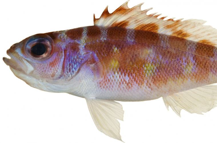 Monogamous fish takes turns with reproductive roles