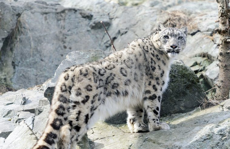 snow leopards, snow leopard