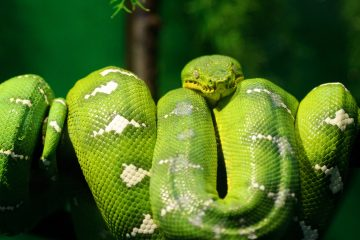 Convergent evolution in boas and pythons