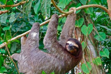 arboreal lifestyle, sloth, slow metabolism