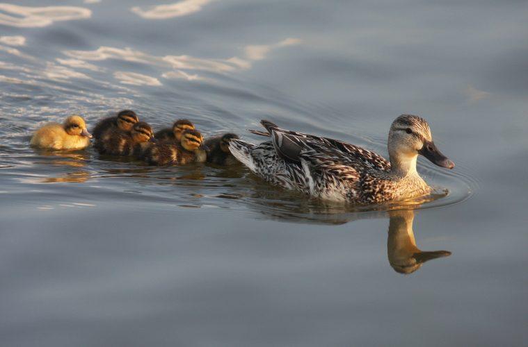 Duckling imprinting
