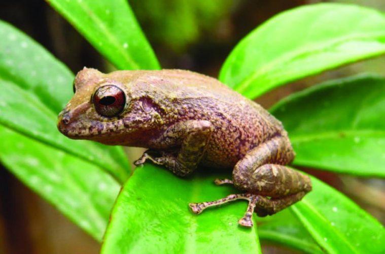 New species frog