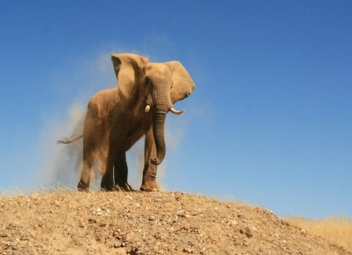 Desert elephants are genetically similar to other elephants, suggesting that their particular survival skills are a result of shared knowledge, not genes.