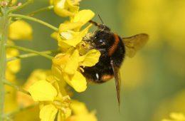 bees neonicotinoids