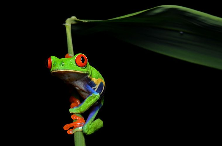Why do some male frogs mate on land?