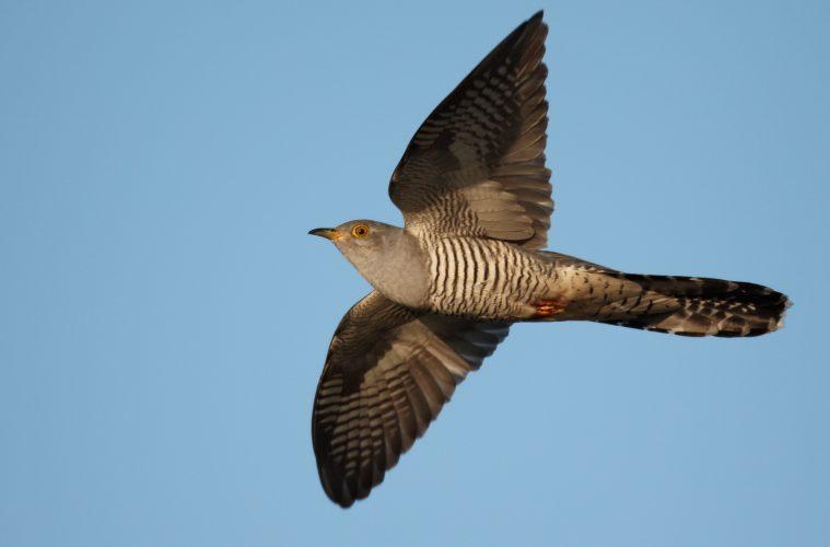 Cuckoo decline