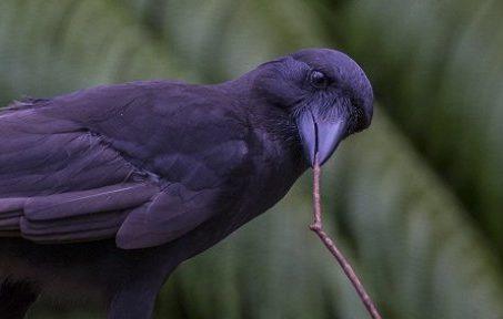 Hawaiian crows tool use