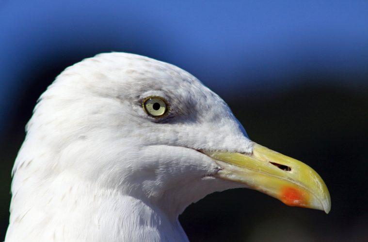 Herring Gull Paul Lucas